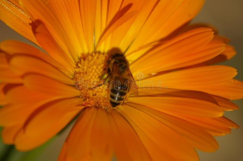 Σταυρός μελισσών μελιού που επικονιάζει ένα πορτοκαλί λουλούδι στοκ εικόνα με δικαίωμα ελεύθερης χρήσης