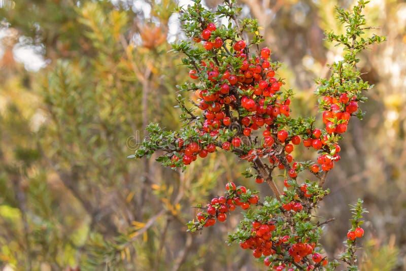 Σταφίδα βουνών, λαμπρά κόκκινα φρούτα μούρων στο nitida Coprosma στο TA στοκ εικόνα