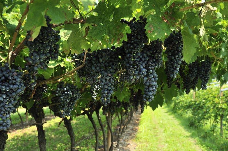Σταφύλια κρασιού στοκ φωτογραφία με δικαίωμα ελεύθερης χρήσης