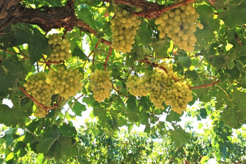 Σταφύλια στην αυλή κρασιού στοκ φωτογραφία