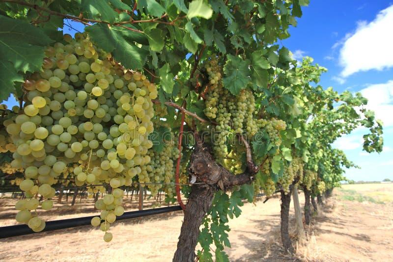 Σταφύλια στην αυλή κρασιού στοκ εικόνα με δικαίωμα ελεύθερης χρήσης