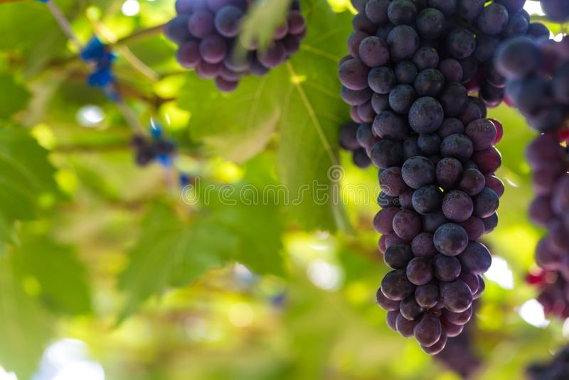 Σταφύλι κρασιού με το πράσινο φύλλο στον κλάδο στοκ εικόνες