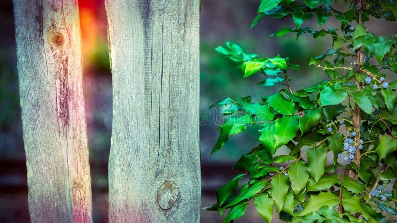 Σταφύλι του Όρεγκον δίπλα σε έναν παλαιό ξύλινο φράκτη Aquifolium Mahonia στοκ φωτογραφία