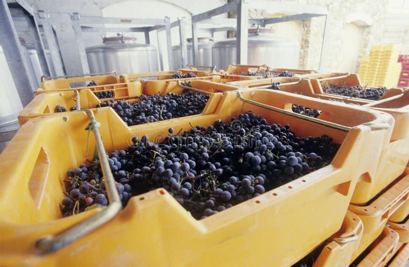 Σταφύλια κρασιού έτοιμα για τη συντριβή της κοιλάδας Βικτώρια Αυστραλία Yarra στοκ εικόνες