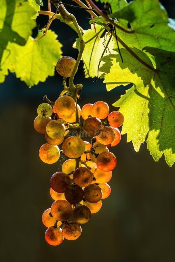 Σταφύλια κόκκινου κρασιού στοκ εικόνα με δικαίωμα ελεύθερης χρήσης