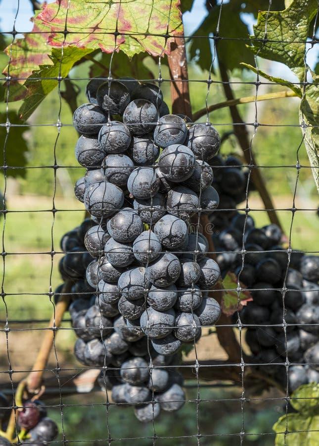Σταφύλια κόκκινου κρασιού Gamay #2 στοκ φωτογραφίες με δικαίωμα ελεύθερης χρήσης