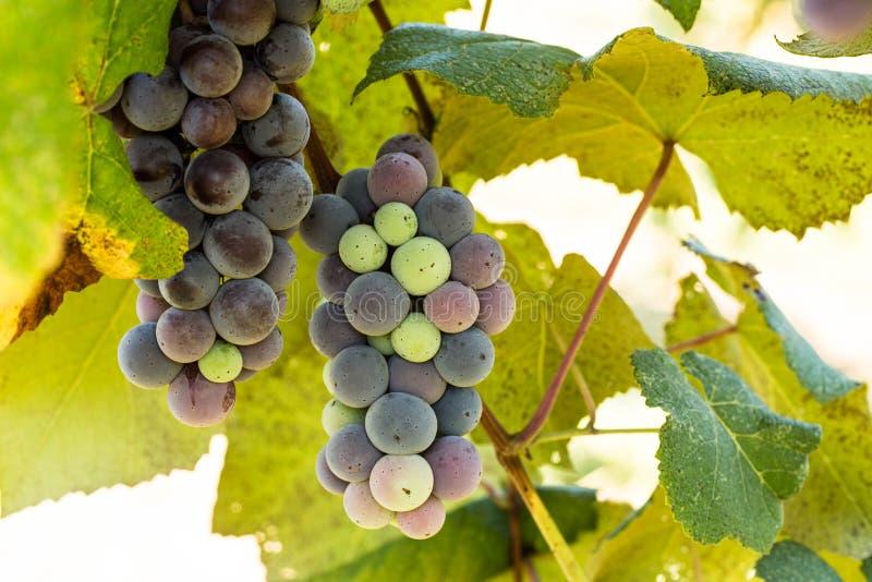 Σταφύλια που αυξάνονται στην άμπελο στον αμπελώνα κρασιού στοκ φωτογραφία