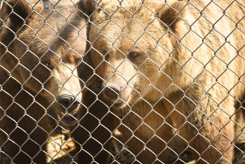Σταχτιές αρκούδες πίσω από έναν φράκτη στοκ φωτογραφία με δικαίωμα ελεύθερης χρήσης