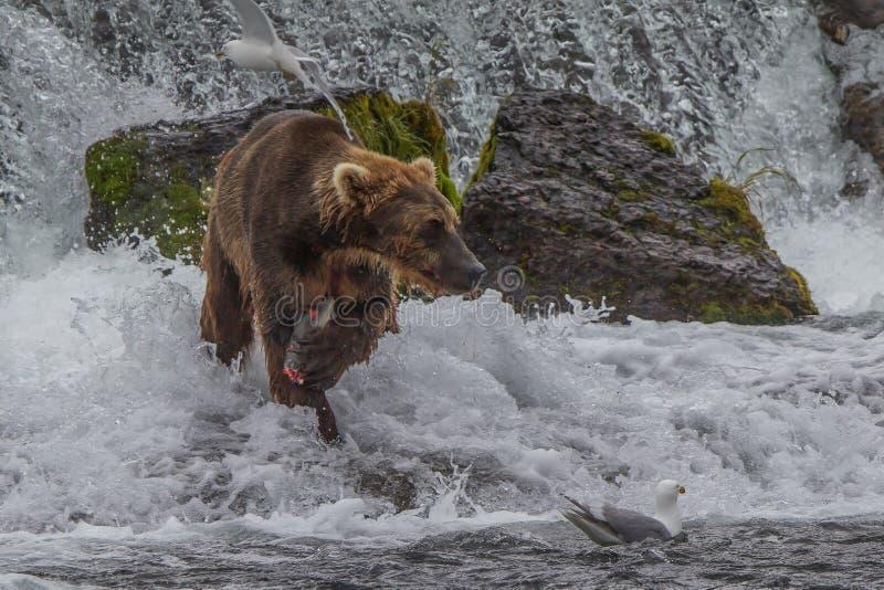 Σταχτύς αντέξτε στην Αλάσκα Katmai που το εθνικό πάρκο κυνηγά salmons τα horribilis arctos Ursus στοκ φωτογραφίες