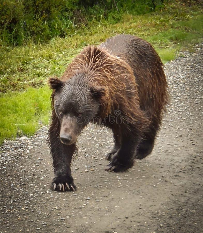 Σταχτύς αντέξτε στο εθνικό πάρκο Denali στοκ φωτογραφίες