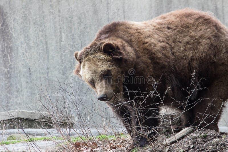 Σταχτύς αντέξτε το ζωολογικό κήπο Νέα Υόρκη Bronx στοκ φωτογραφία με δικαίωμα ελεύθερης χρήσης