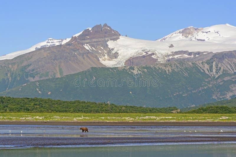 Σταχτύς αφορτε την αρκούδα περπατώντας ένα παλιρροιακό επίπεδο κάτω από τα βουνά στοκ εικόνες με δικαίωμα ελεύθερης χρήσης
