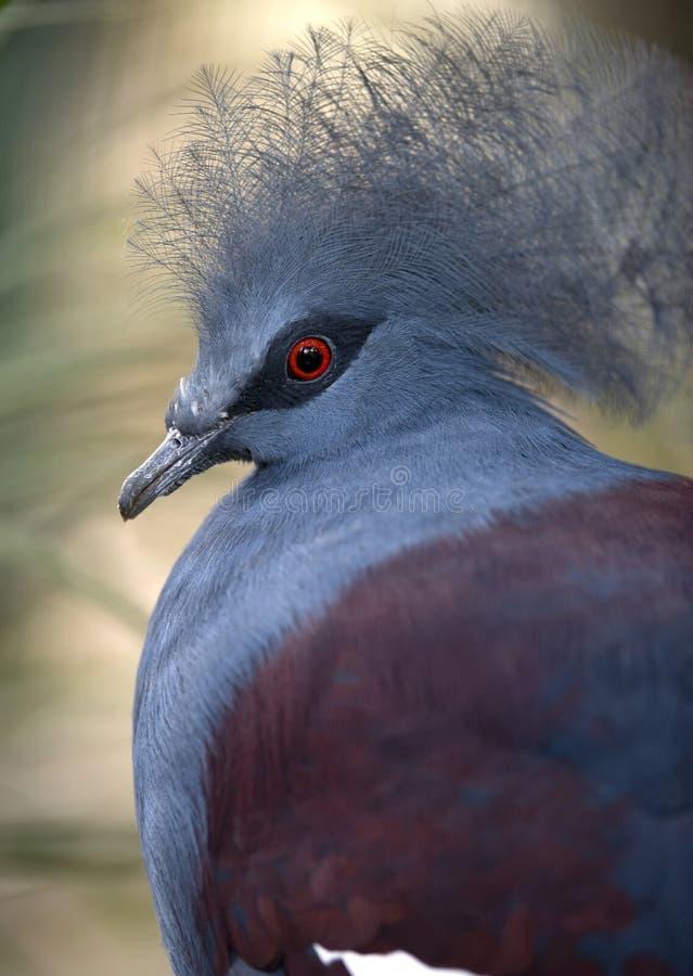 Download στεμμένη πουλί Γουινέα νέο στοκ εικόνα. εικόνα από birdbaths - 13181159