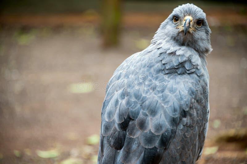 Στεμμένος απόμερος αετός, Puerto Iguazu, Νότια Αμερική στοκ φωτογραφίες με δικαίωμα ελεύθερης χρήσης