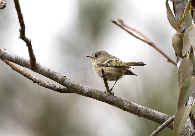 Στεμμένο ρουμπίνι πουλί βασιλίσκων το χειμώνα, Γεωργία ΗΠΑ στοκ εικόνες