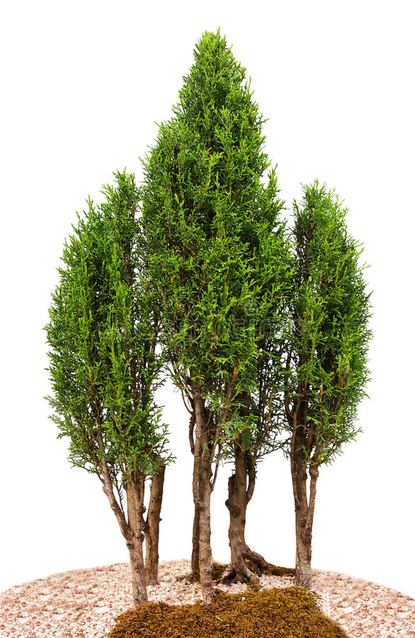 στενά δέντρα κυπαρισσιών ε στοκ εικόνες