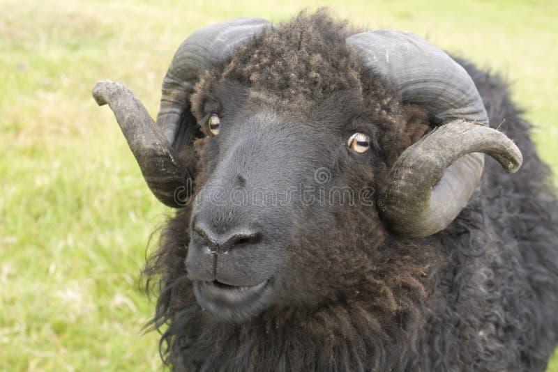 στενά επικεφαλής πρόβατα &k στοκ εικόνες