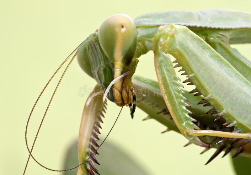 στενά μακρο mantis επάνω στοκ εικόνες με δικαίωμα ελεύθερης χρήσης