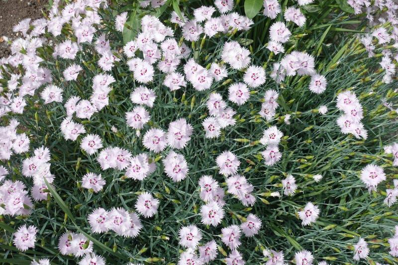 Στενά φύλλα γκρίζος-πρασίνου και ρόδινα λουλούδια του dianthus στοκ φωτογραφίες