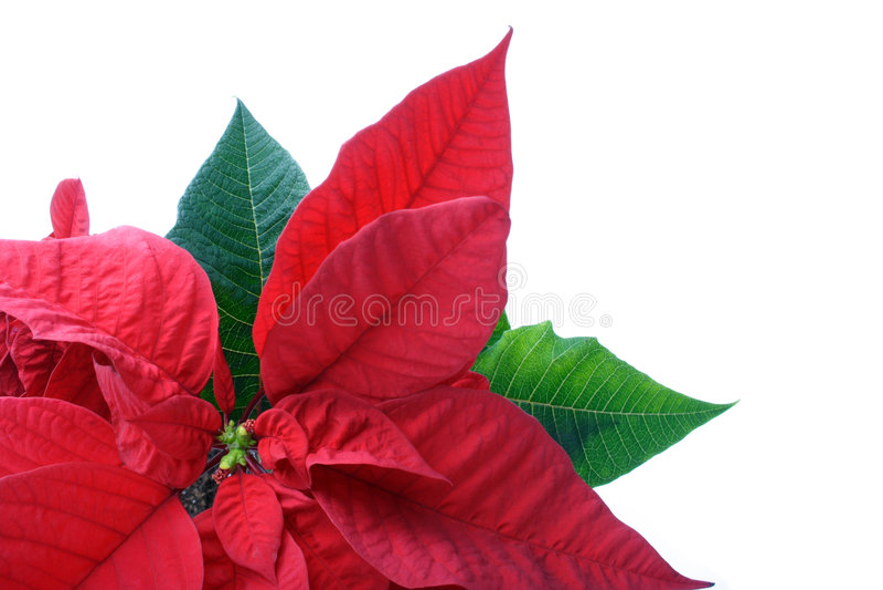 Download στενά poinsettias επάνω στοκ εικόνα. εικόνα από φυτό, σπάνιος - 382547