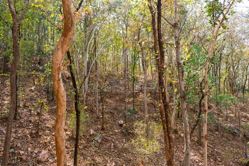 Στενή άποψη του ινδικού φθινοπώρου δασικών δέντρων στο δύσκολο βουνό που φαίνεται τρομερό σε θερινή περίοδο στοκ φωτογραφία