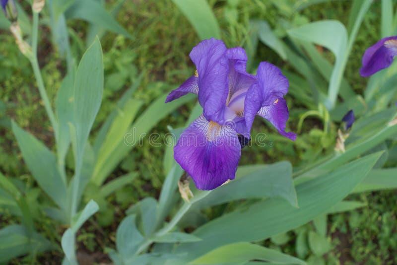 Στενή άποψη του ιώδους λουλουδιού του germanica της Iris στοκ εικόνες με δικαίωμα ελεύθερης χρήσης