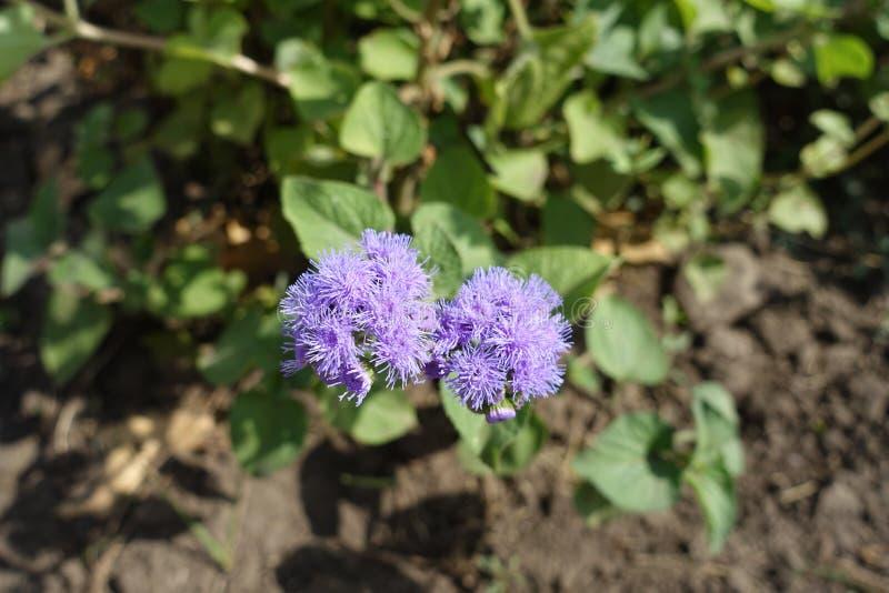 Στενή άποψη των ιωδών λουλουδιών του houstonianum Ageratum στοκ φωτογραφία με δικαίωμα ελεύθερης χρήσης