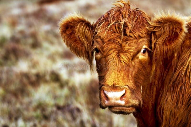 Στενή αγελάδα ορεινών περιοχών στοκ φωτογραφίες με δικαίωμα ελεύθερης χρήσης