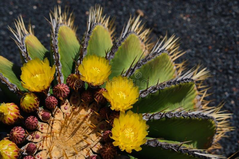 Στενή επάνω άποψη schwarzii Ferocactus στοκ εικόνα