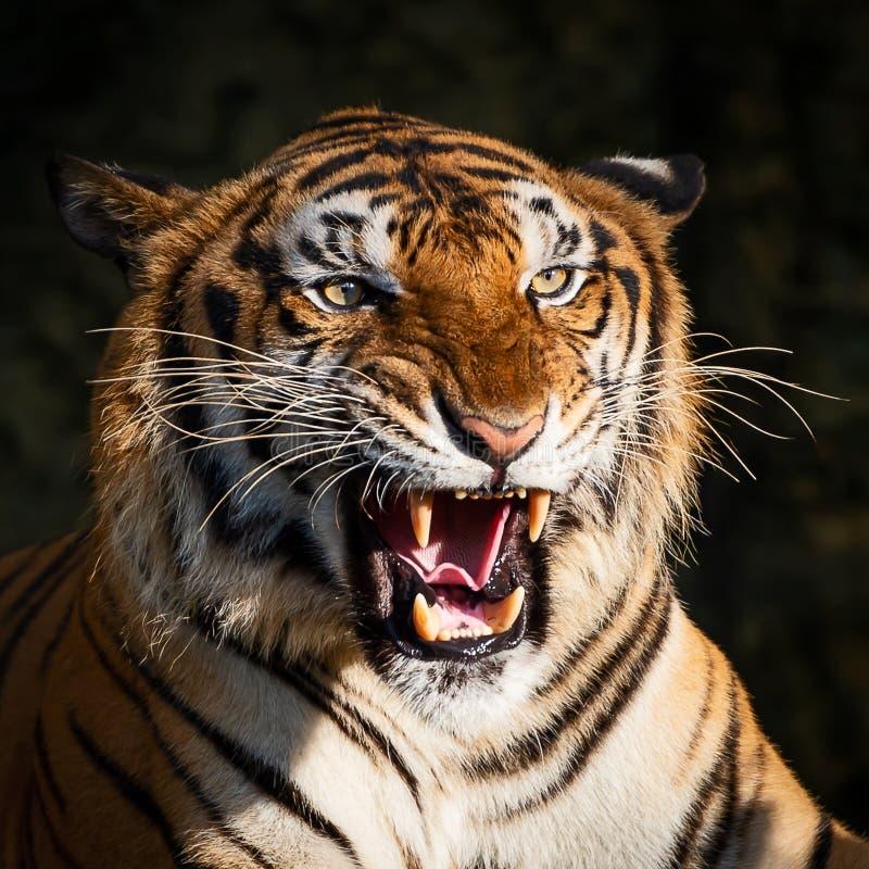 στενή ηλιόλουστη τίγρη πορτρέτου ημέρας επάνω στοκ εικόνες
