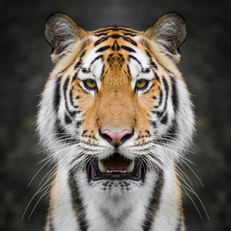 στενή τίγρη προσώπου επάνω στοκ φωτογραφία