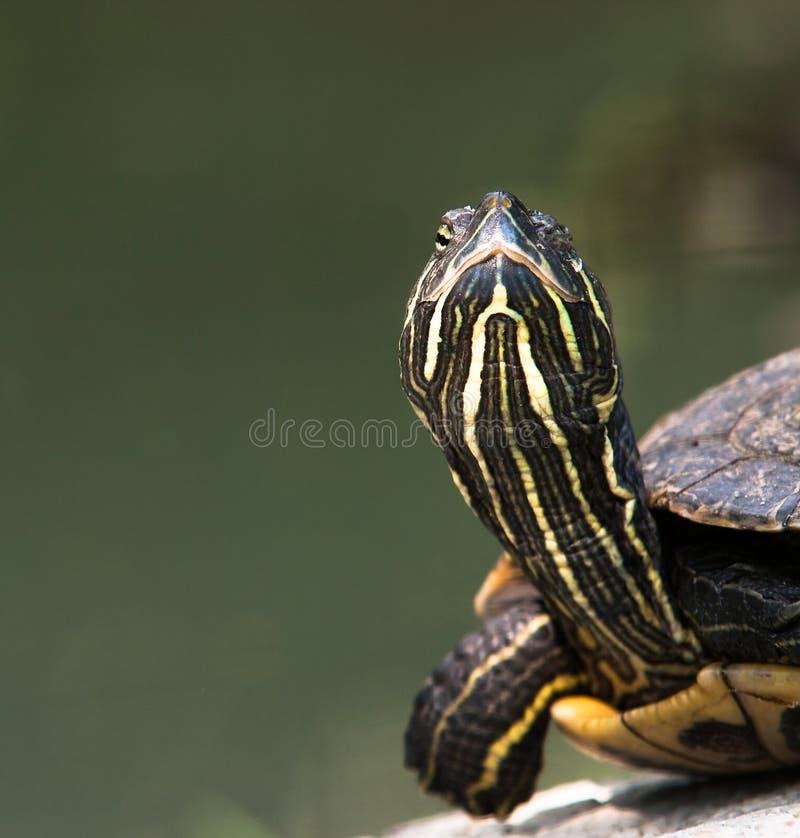 στενή χελώνα επάνω στοκ εικόνες