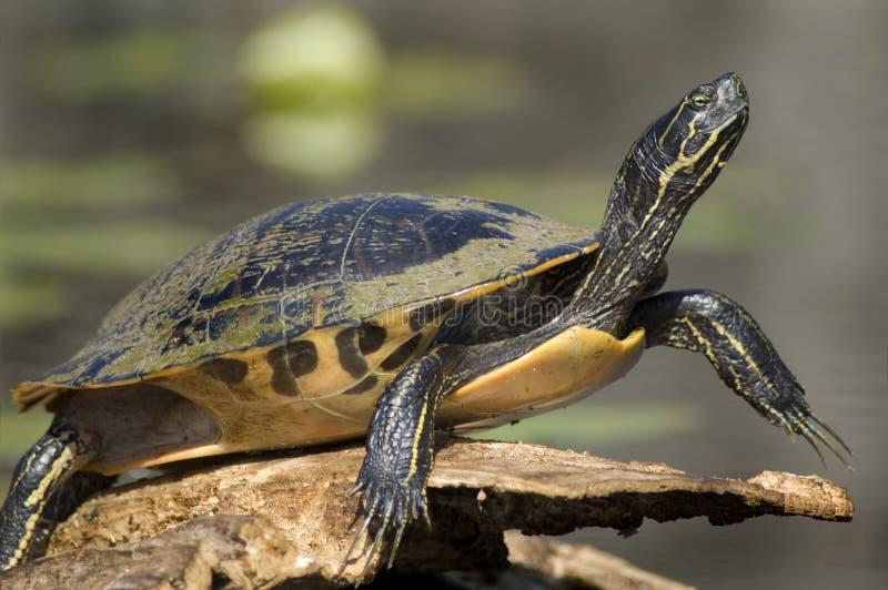 στενή χελώνα επάνω στοκ φωτογραφία με δικαίωμα ελεύθερης χρήσης