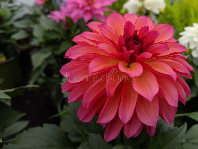 Στενός ένας επάνω ενός λουλουδιού νταλιών στοκ φωτογραφίες με δικαίωμα ελεύθερης χρήσης