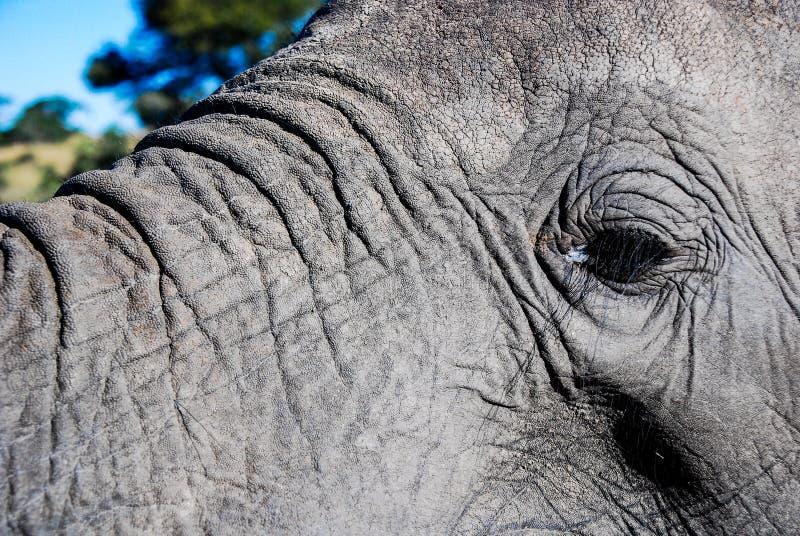 Στενός ένας επάνω ενός ματιού ελεφάντων στοκ φωτογραφίες