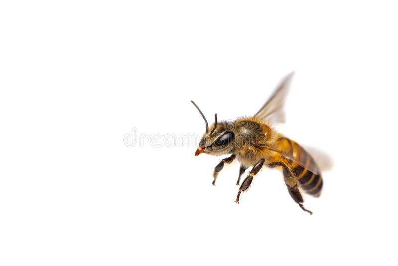 Στενός ένας επάνω της πετώντας μέλισσας που απομονώνεται στο άσπρο υπόβαθρο στοκ φωτογραφίες με δικαίωμα ελεύθερης χρήσης