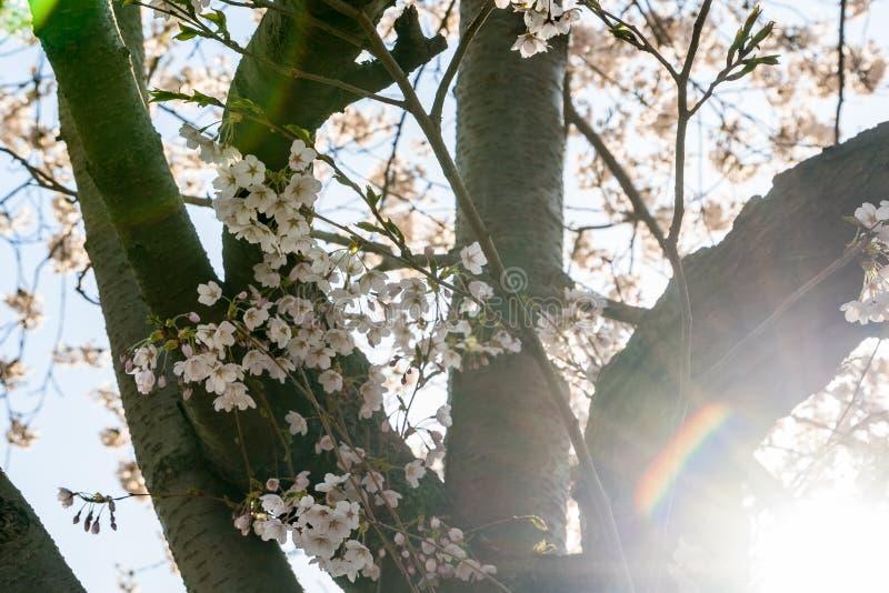 Στενός ένας επάνω του ανθίζοντας κερασιού ανθίζει στην ηλιοφάνεια στοκ φωτογραφίες