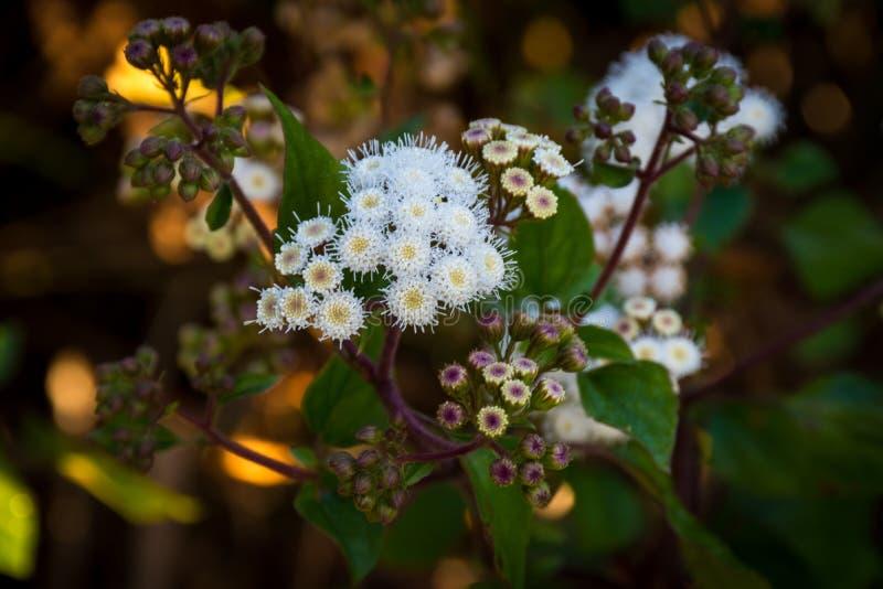 Στενός ένας επάνω του javanica Anaphalis ή γνωστός ως λουλούδι της Ιάβας Edelweiss που μπορεί μόνο να ζήσει στο βουνό μεγάλου υψο στοκ φωτογραφία με δικαίωμα ελεύθερης χρήσης