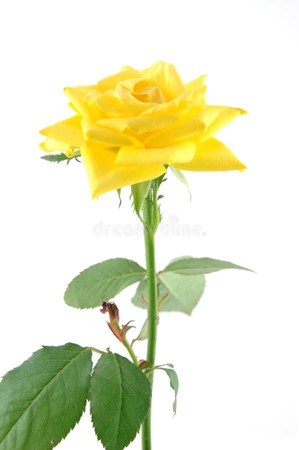 στενός αυξήθηκε επάνω σε κίτρινο στοκ εικόνα