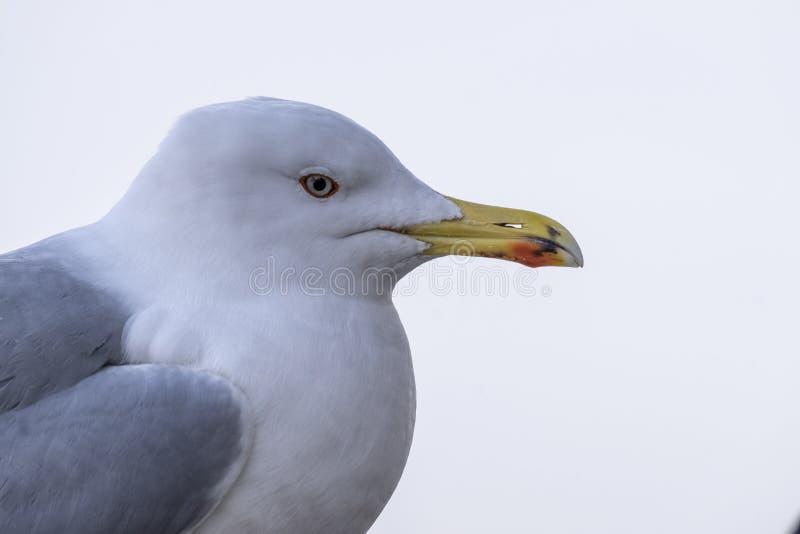Στενός βλαστός seagull στοκ εικόνες