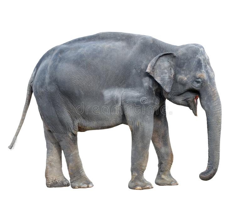 στενός ελέφαντας επάνω Μεγάλος γκρίζος ελέφαντας περπατήματος που απομονώνεται στο άσπρο υπόβαθρο Μόνιμο πλήρες μήκος ελεφάντων κ στοκ εικόνα με δικαίωμα ελεύθερης χρήσης