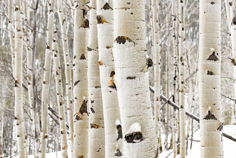 Στενός επάνω αλσών της Aspen το χειμώνα με κάποιο χιόνι στοκ φωτογραφία
