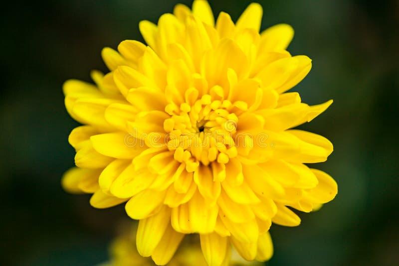 Στενός επάνω κίτρινος λουλουδιών στοκ εικόνες