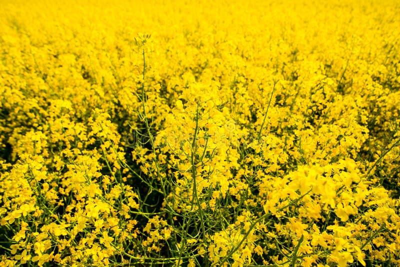 Στενός επάνω λουλουδιών ελαίου κολζά E Εγκαταστάσεις αγροτικής περιοχής στοκ φωτογραφίες