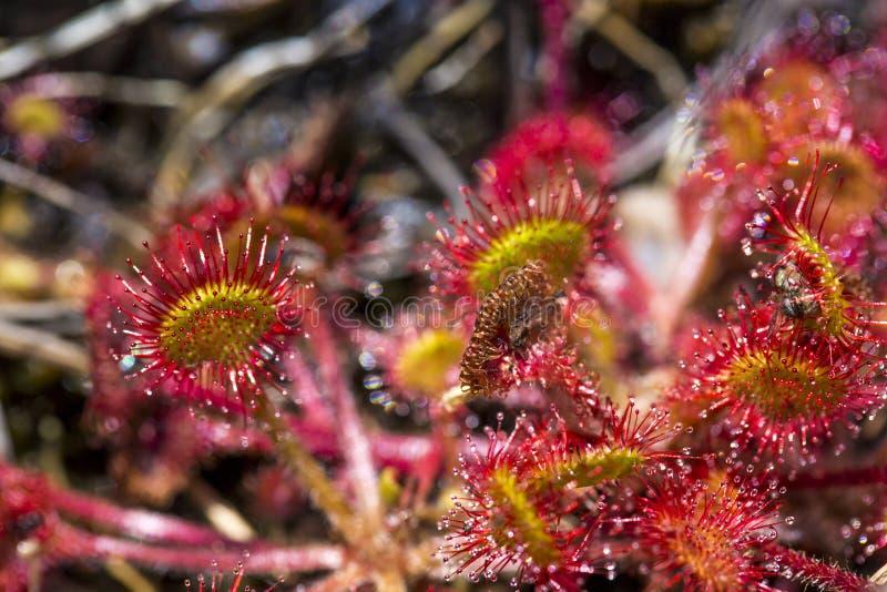 Στενός επάνω λουλουδιών anglica Drocera Ζωές Sundew στα έλη και αλιεύει τα κολλώδη φύλλα εντόμων Ζωή των εγκαταστάσεων και των εν στοκ φωτογραφία με δικαίωμα ελεύθερης χρήσης