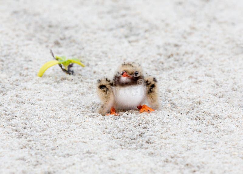 Στενός επάνω στερνών μωρών κοινός στην άμμο στοκ φωτογραφίες με δικαίωμα ελεύθερης χρήσης