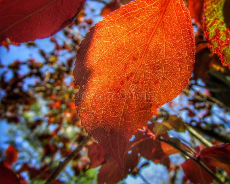 Στενός επάνω φύλλων φθινοπώρου πορτοκαλής στο δέντρο στοκ εικόνες