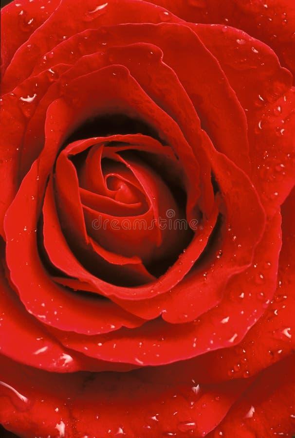 στενός κόκκινος αυξήθηκε επάνω στοκ εικόνα με δικαίωμα ελεύθερης χρήσης