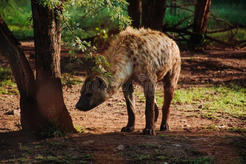 Στενός πυροβολισμός ενός hyena κοντά σε ένα δέντρο με το θολωμένο φυσικό υπόβαθρο στοκ εικόνες