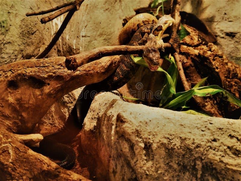 Στενός πυροβολισμός ενός terrarium python στοκ φωτογραφία
